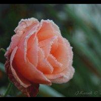 Роза. :: Елена Kазак