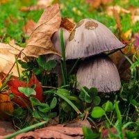 Осенью и поганка - красавица! :: Андрей Лобанов