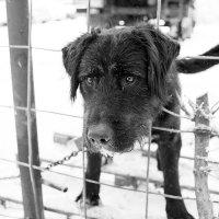 Пёс Чёрный :: Вадим