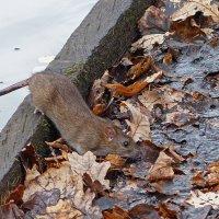 Осенняя крыска :: Александр Запылёнов