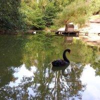 Черный лебедь. :: Олька Крайнова
