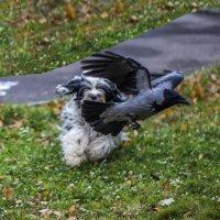 Бия ловит ворону ( такая игра!!!) :: Лариса Батурова