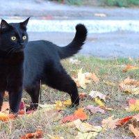 Черный кот на прогулке :: Нина Костина
