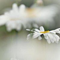 Цветы лета :: donat
