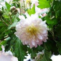 Последние дачные цветы :: татьяна
