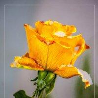 Зимняя роза :: Дубовцев Евгений