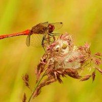 красная на луговой траве :: Александр Прокудин