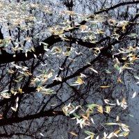 Чернильная вода и осенние листья. :: Денис Масленников