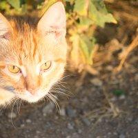 Всё тот же рыжий утренний кот :: Андрей Страхов