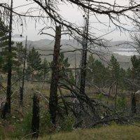 Последствие лесного пожара :: Дмитрий Солоненко