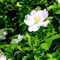 Белый шиповник, дикий шиповник, краше садовых роз... :: Валентина ツ ღ✿ღ