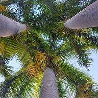 Стройность пальмовых стволов :: Елена Байдакова