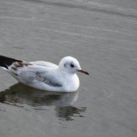 Чайка на воде... :: Тамара (st.tamara)
