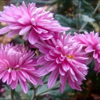 Сиреневые хризантемы :: Нина Корешкова