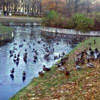 Скопление уток в парке. :: Виктор Егорович
