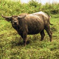 То ли буйвол, то ли бык, то ли тур. :: Александр Липовецкий