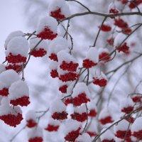 Рябины гроздья алые.... :: Tatyana Nemchinova