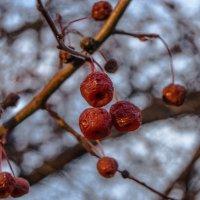 дикие яблоки :: Антон Летов
