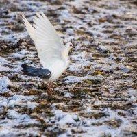 красивый голубь :: Лариса Батурова