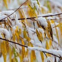 Осень в снегу :: Александр Синдерёв
