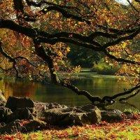 Склонила устало кленовая осень. Поникшие ветви к холодной воде. :: Юрий. Шмаков