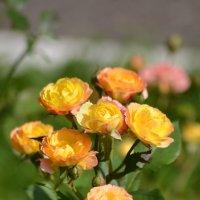 жёлтые розы :: Константин Трапезников