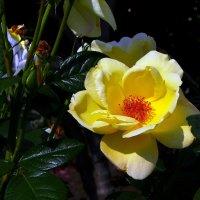 Желтая роза  из Михайловского Златоверхого монастыря г. Киев :: Владимир Бровко