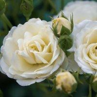 Кремовая роза :: Алёна Дедовец