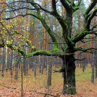 Почему у дуба листья облетели. ( В. Бояринов ) :: Валентина ツ ღ✿ღ