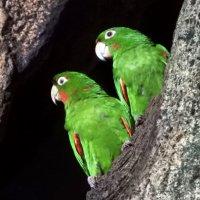 Любить — значит смотреть вместе в одном направлении. White-eared Parakeets :: чудинова ольга