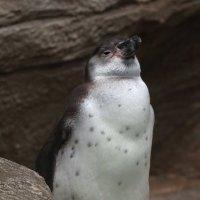 Пингвин Гумбольдта из Новосибирского Зоопарка :: Владимир Шадрин