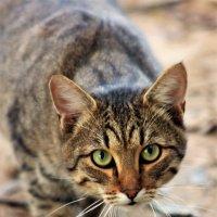 Кот на охоте. :: Софья Богаткина