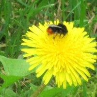 Дружат пчёлка и цветок :: Дмитрий Никитин
