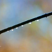 Капли воды на ветке :: Александр Синдерёв