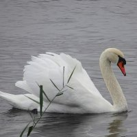 Лебеди на Голубых озерах :: Маргарита Батырева