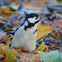 дятел в листьях) :: linnud