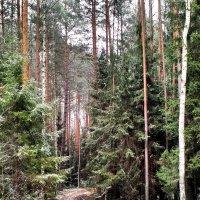 По лесной дорожке... :: Николай Варламов