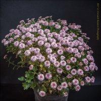 Куст бордюрной хризантемы. :: александр мак mak