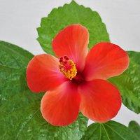 Китайская роза :: Светлана