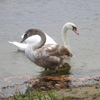 Два поколения лебедей :: Маргарита Батырева
