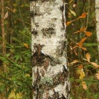 Лицо на стволе дерева. :: Елена Kазак