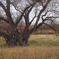 Старая ива, изогнуты ветви твои и тяжелы... :: Елена Ярова