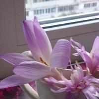 Безвременник - последние садовые цветы в этом году. :: Galina194701