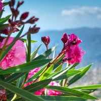 Цветы Крита :: Наталья Кудряшина