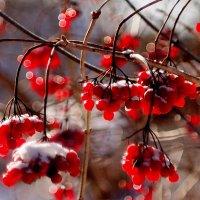 калина со снежком :: Александр Прокудин