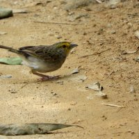 Yellow-browed Sparrow :: чудинова ольга