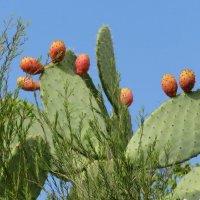 Цабры - плоды кактусов :: Герович Лилия