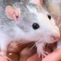 Мышь :: Юрий Бичеров