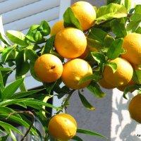 Апельсины :: Валерьян Запорожченко