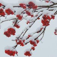 Рябина под первым снегом :: Павлова Татьяна Павлова